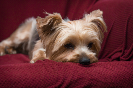 yorkie: Portrait yorkshire terrier or yorkie relaxing on red couch