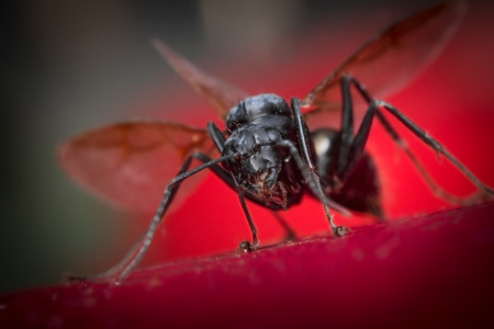 winged: Winged flying carpenter ant on red leaf surface