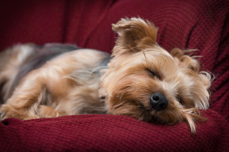 Portrait yorkshire terrier or yorkie sleeping on red couch Stock Photo