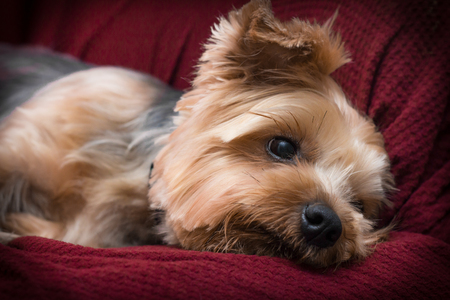 red couch: Portrait yorkshire terrier or yorkie relaxing on red couch