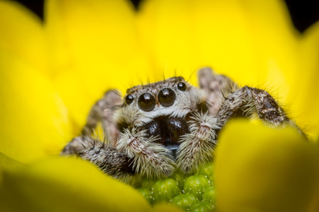 macro close up: Super macro close up jumping spider on yellow flower