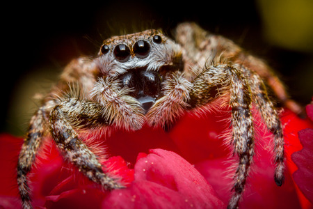 arachnophobia: Super macro close up jumping spider on red rose