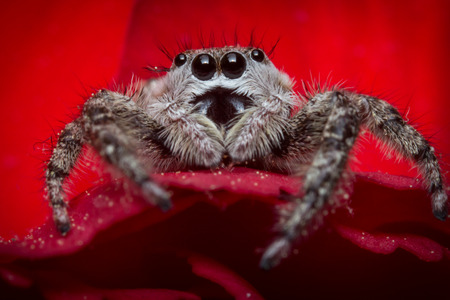 jumping spider: Super macro close up jumping spider on red rose