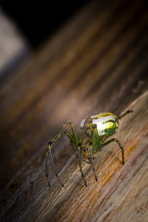 frightening: Yellow and green frightening orbweaver orchard spider in macro closeup
