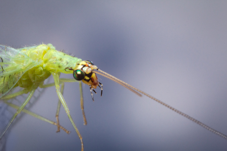 chrysopidae: Common green lacewing fly or stinkfly in closeup macro image against blue sky