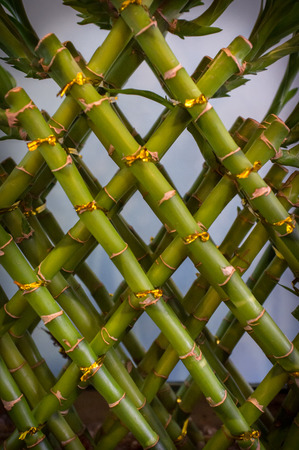 bamboo plant: Asian lucky green bamboo plant pattern background