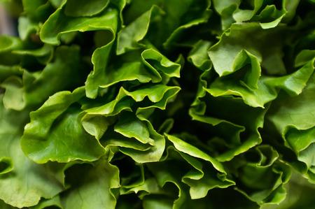 romaine: Bunch of Romaine lettuce leaves in closeup macro background