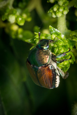 Close up macro green Japanese beetle on green leaf