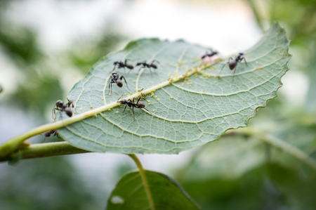 mutualism: Honey ants protecting and tending the aphids in their care