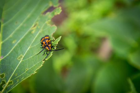 nuisance: Macro close up orange reticulated netwinged beetles mating Stock Photo