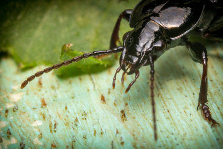 Close up macro cedar beetle or sandalus niger on green leaf