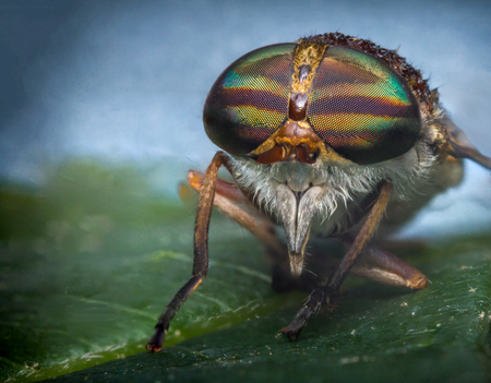 cleg: Close up macro horse fly on green leaf daytime Stock Photo