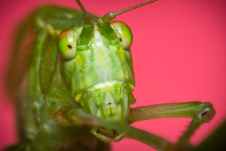 Fork-Tailed Bush Katydid on grass with pink background Stock Photo