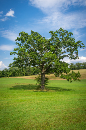 Tall magnificent oak tree in field on hot summer day Stock Photo