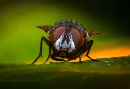 Extreme close up macro common green bottle fly insect background Stock Photo