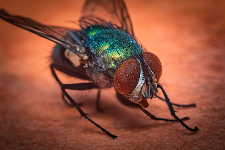 extreme close up: Extreme close up macro common green bottle fly insect background Stock Photo