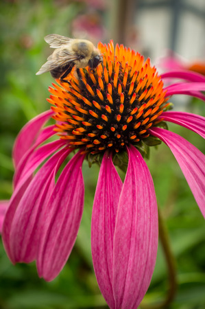 living organism: Common eastern bumblebee on pink daisy flower in closeup Stock Photo