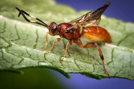Close up macro tiny infant Ichneumon wasp on green leaf Stock Photo