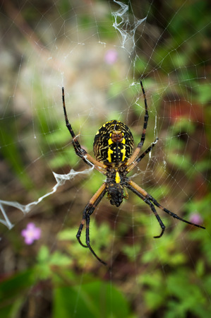 Close up yellow garden spider on web in its natural habitat Stock Photo