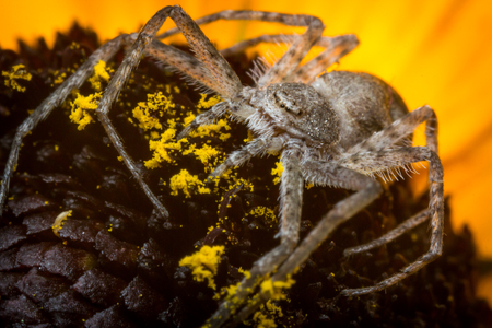 flower  crab  spider: Super macro close up Running Crab Spider on yellow flower