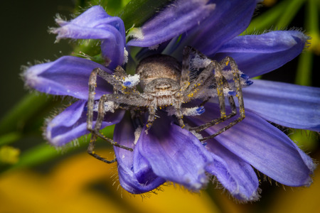 Super macro close up Running Crab Spider on purple flower