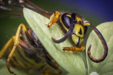 yellow jacket: Close up macro scary yellow jacket wasp on green leaf
