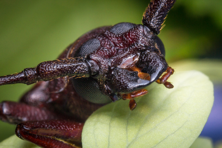 Close up macro brown long horned beetle on green leaf Stock Photo