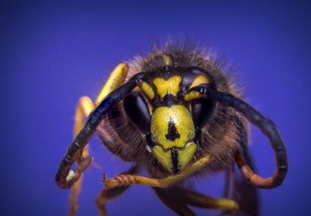 yellow jacket: Close up macro scary yellow jacket wasp flying against blue sky