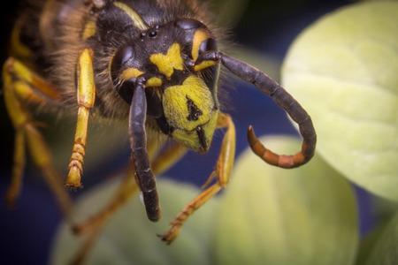 yellow jacket: Close up macro scary yellow jacket wasp flying