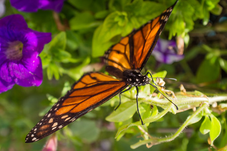 Close up monarch butterfly with pretty summer flowers stock photo close up monarch butterfly with pretty summer flowers stock photo 61270900 mightylinksfo