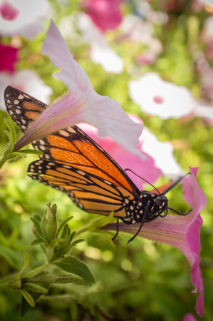 Close up monarch butterfly with pretty summer flowers stock photo close up monarch butterfly with pretty summer flowers stock photo 61290248 mightylinksfo