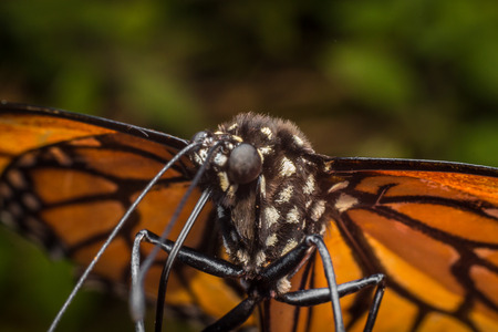 extreme close up: Extreme close up monarch butterfly shallow depth of field Stock Photo
