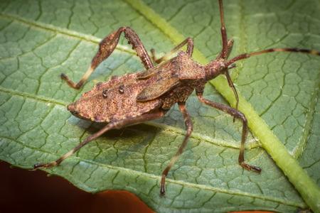 Close up macro helmeted squash bug on green leaf Stock Photo