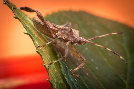 Close up macro helmeted squash bug on green leaf Stock Photo