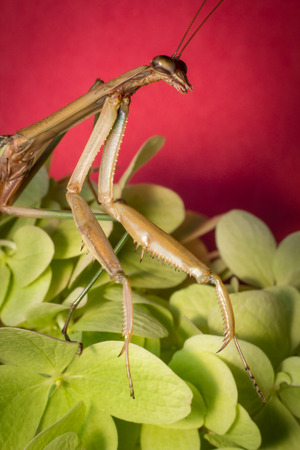 mantid: Close up macro large Chinese praying mantis insect