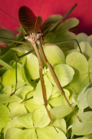 Close up macro large Chinese praying mantis insect