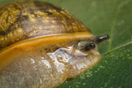 Closeup macro amber snail showing antenna on leaf