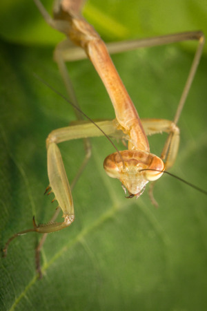 mantid: Close up macro Chinese praying mantis insect nymph Stock Photo