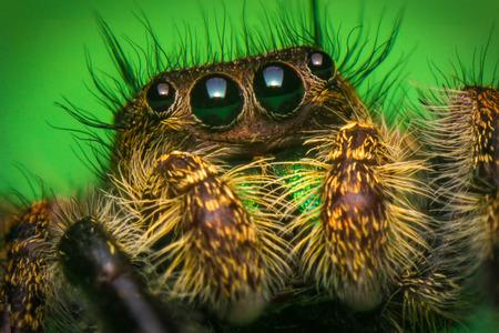 Super macro close up Phidippus regius jumping spider Stock Photo