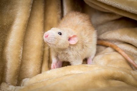Fancy fawn colored dumbo eared pet rat exploring a blanket