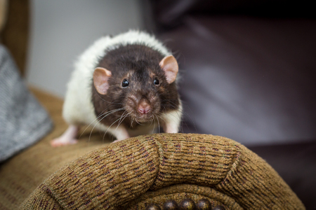 Fancy agouti-colored hooded pet rat exploring sofa indoors Stock Photo