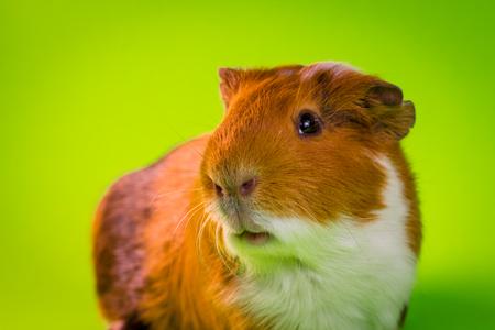 Friendly household pet guinea pig in studio shot Standard-Bild