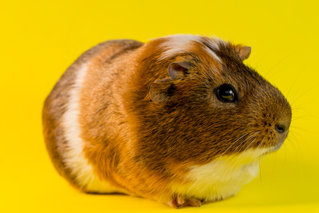 Friendly household pet guinea pig in studio shot Stock Photo