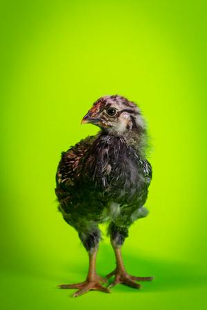 Young adolescent silver-laced Wyandotte chicken farm hen portrait Stock Photo
