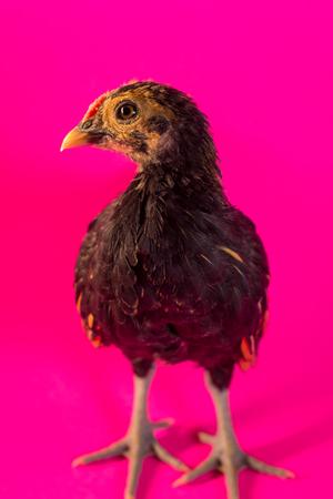 Sicilian Buttercup chicken portrait farm hen background