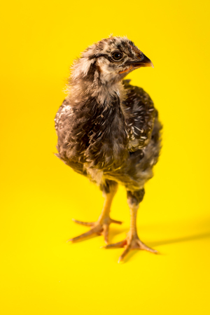 Young adolescent silver-laced Wyandotte chicken farm hen portrait Stock Photo