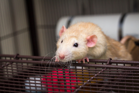 Fancy fawn colored dumbo eared pet rat at the edge of open cage
