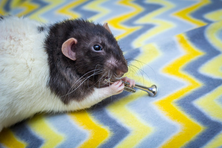 Fancy agouti-colored hooded pet rat playing trumpet Stock Photo
