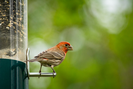 Red male house finch eating at bird feeder early spring Stock Photo