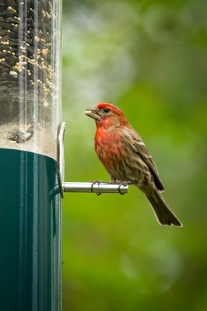 Red male house finch eating at bird feeder early spring 写真素材